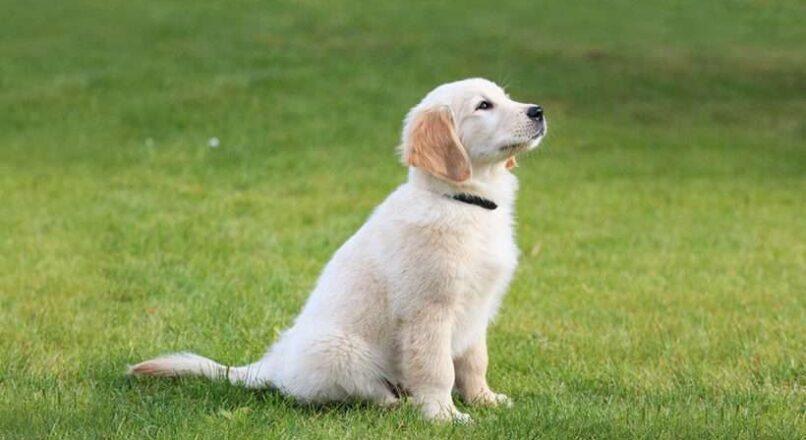 How to train Golden Retriever Puppies?
